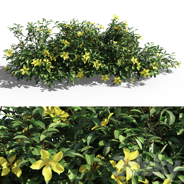 Hibbertia scandens bush