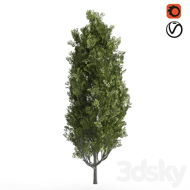 Cypress_oak_tree