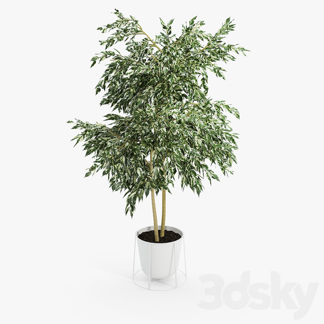 White wire base and pot Ficus Set