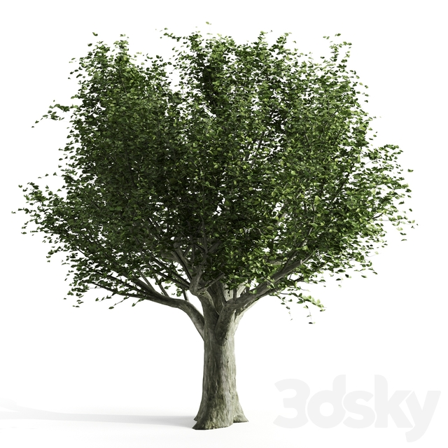 Beech spring tree