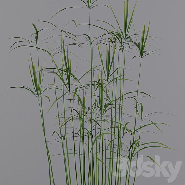 Plants collection 003 - Cyperus papyrus 01