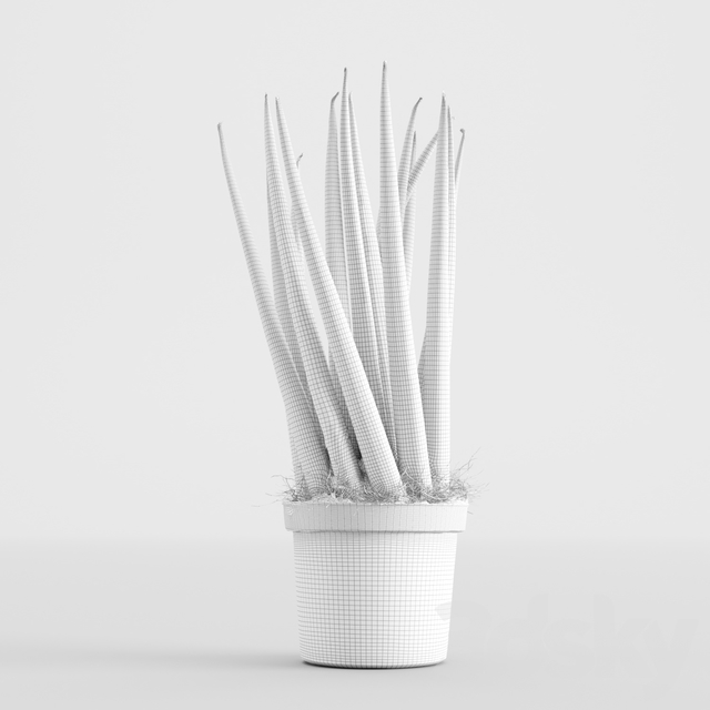 Sansevieria cylindrica plant