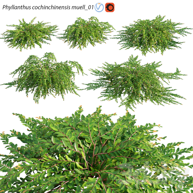Phyllanthus cochinchinensis muell - 01