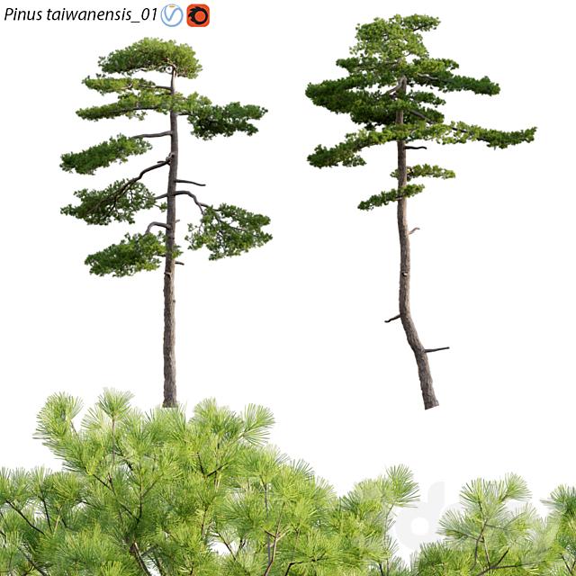 Pinus taiwanensis | Taiwan red pine | Pine | 01