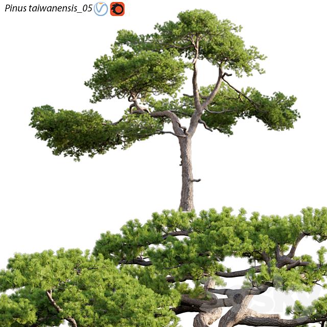 Pinus taiwanensis | Taiwan red pine | Pine | 05