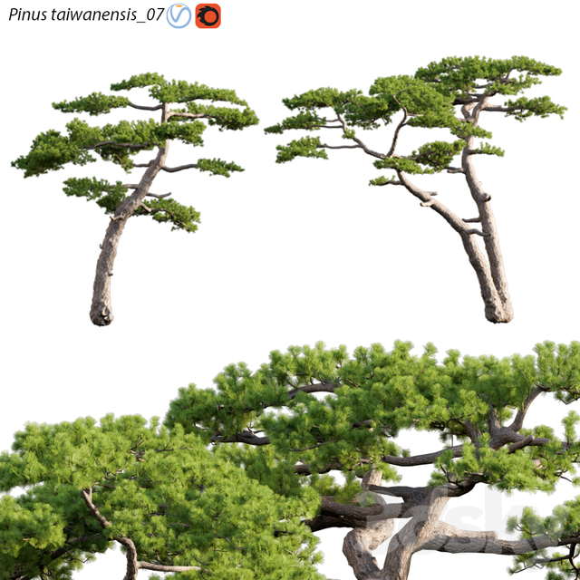 Pinus taiwanensis | Taiwan red pine | Pine | 07