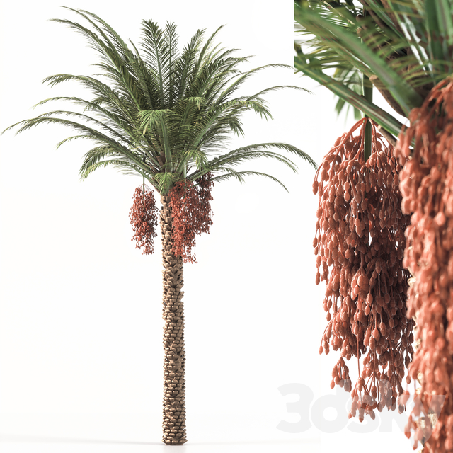Palm_Tree_001
