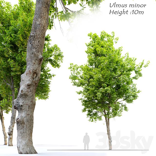 Ulmus minor