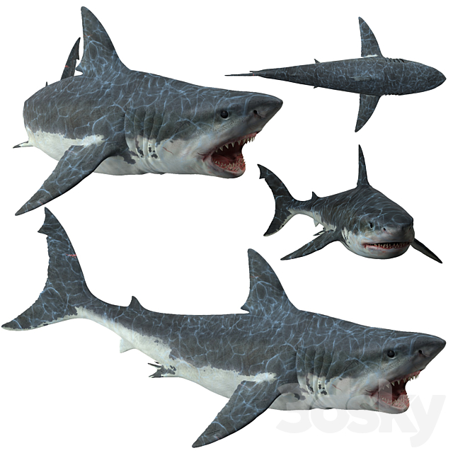 Great White Shark ( Carcharodon carcharias )