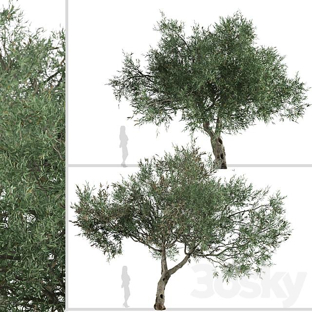 Set of Olive Tree (Olea europaea) (2 Trees)