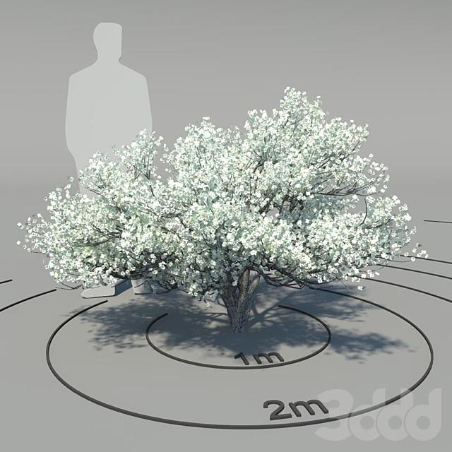 Кизил цветущий (Cornus florida)