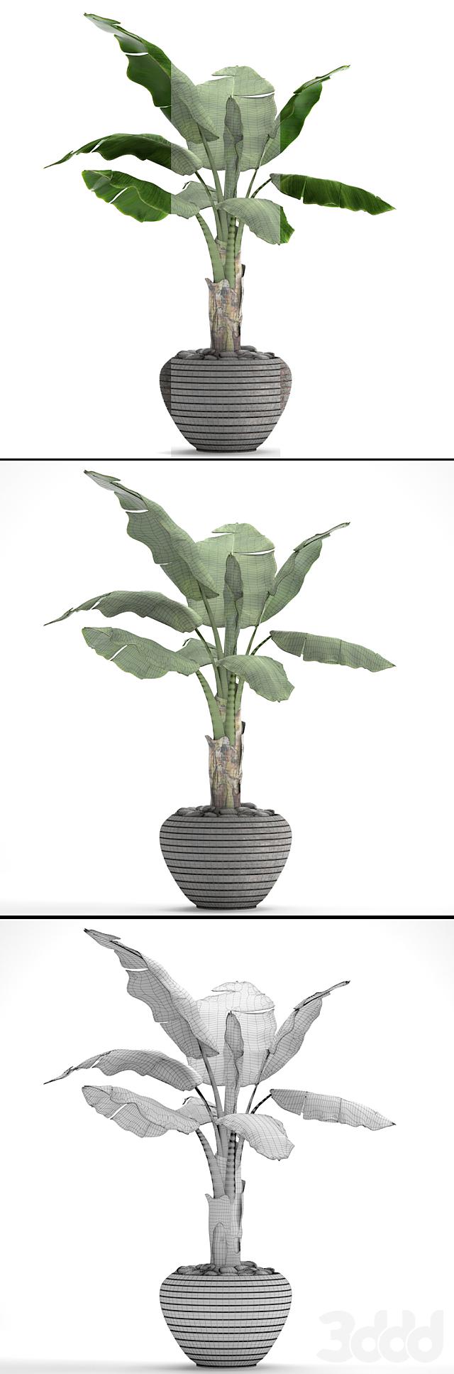 Банановая пальма в горшке 2