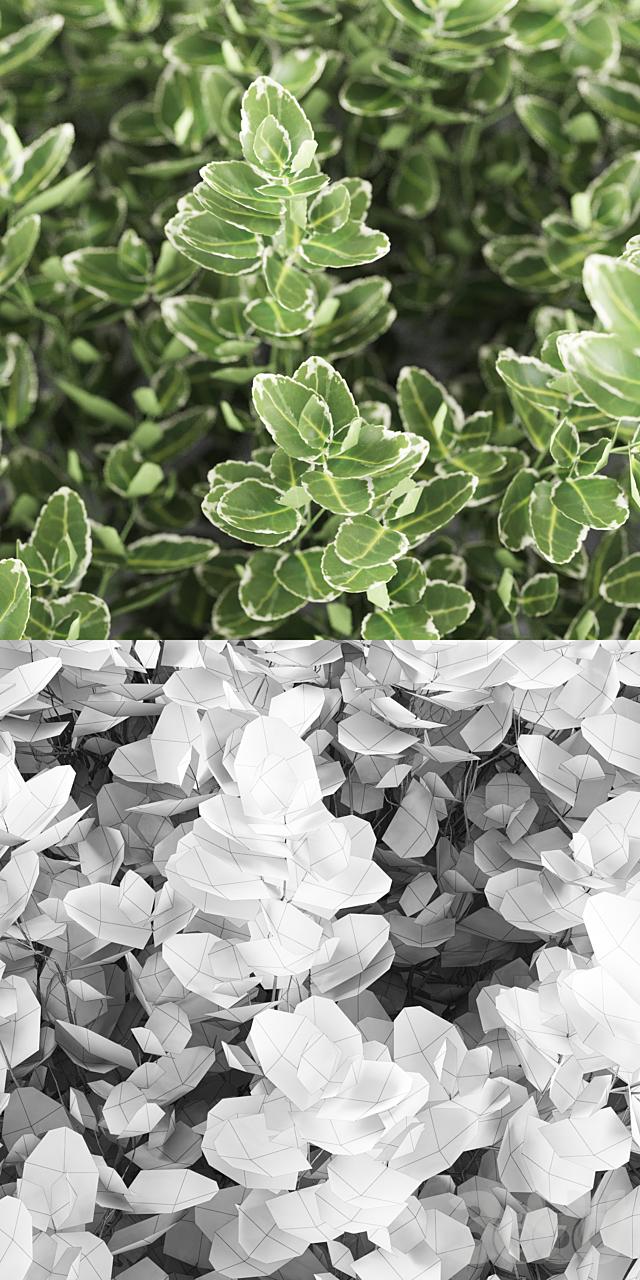 Бересклет Форчуна куст | Euonymus Fortunei Emerald Gaiety