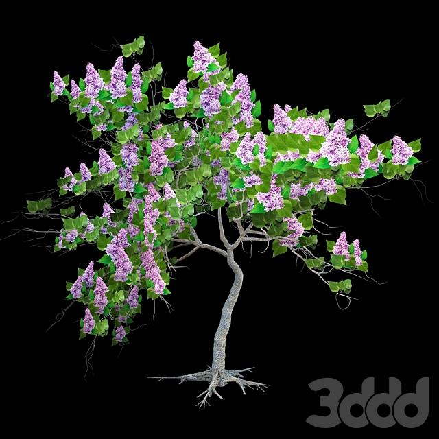 Сирень цветущая/ Lilac