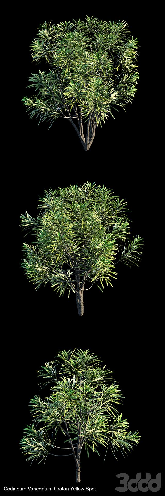 Codiaeum Variegatum Croton Yellow Spot