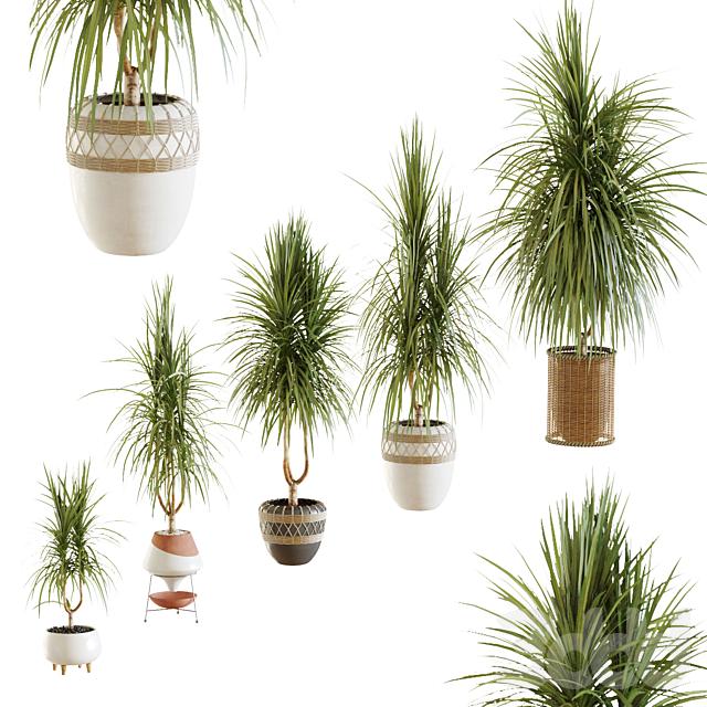 Коллекция растений. Драцена v2