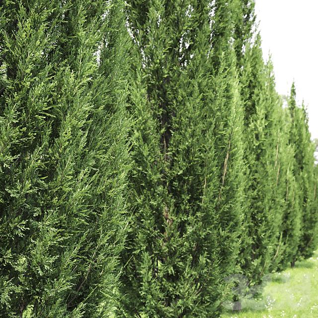 Можжевельник скальный   Juniperus scopulorum #2