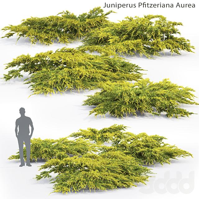 Можжевельник средний Ауреа   Juniperus Pfitzeriana Aurea #2