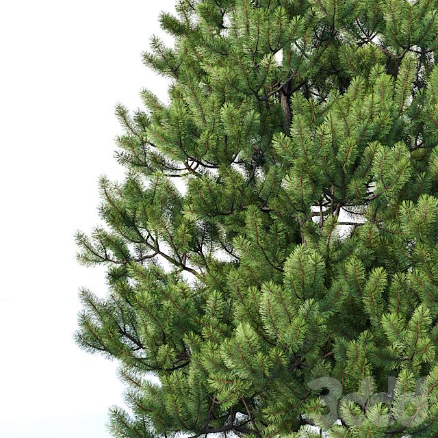 Pinus sylvestris #2 H3-6m