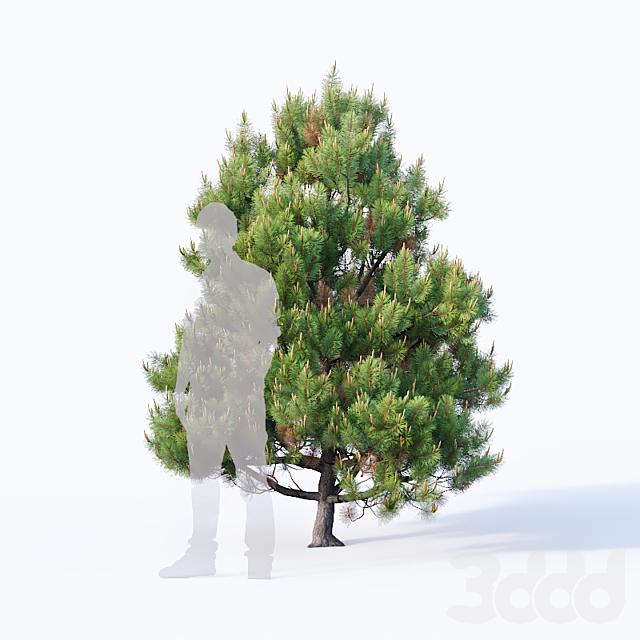 Pinus sylvestris #4 H110cm-300cm V2