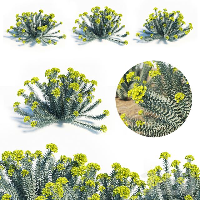 Euphorbia RIgida (Gopher Plant)