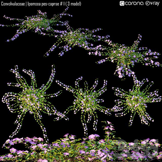 Convolvulaceae   Ipomoea pes-caprae # 1 ( 3 model)