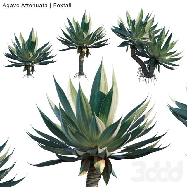 Agave Attenuata | Foxtail