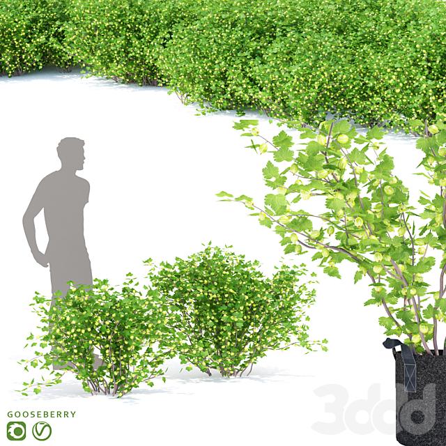 Крыжовник кусты | Gooseberry