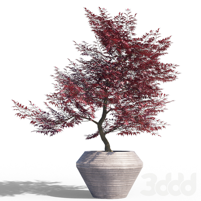 Japanese maple pot 1