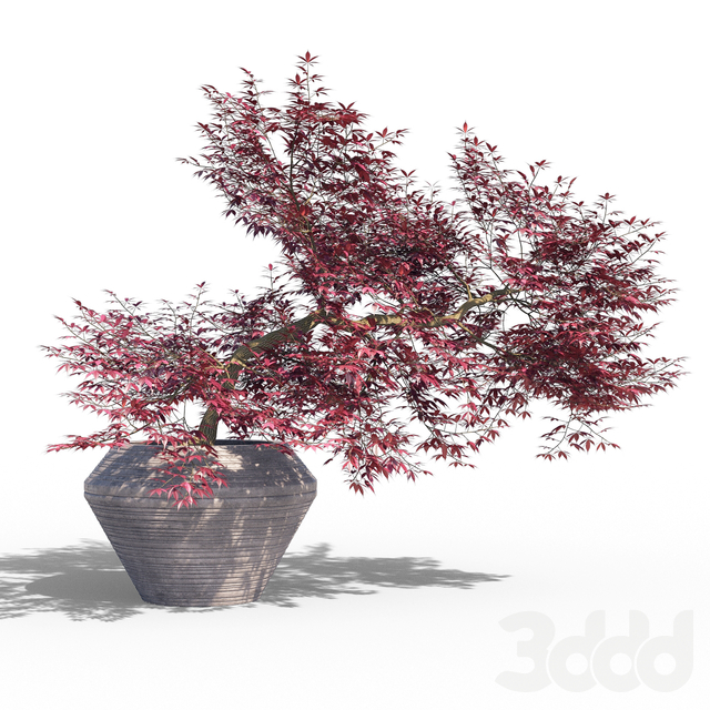 Japanese maple pot 2