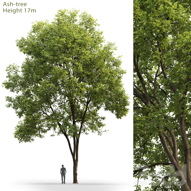 Ясень | Ash-tree #3 (17m)