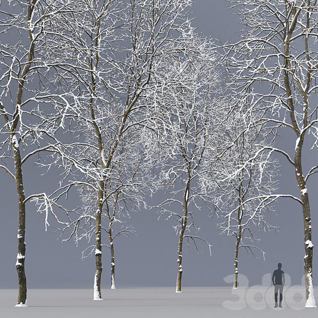 Ясень зимний | Ash-tree winter #5 (21.2m)