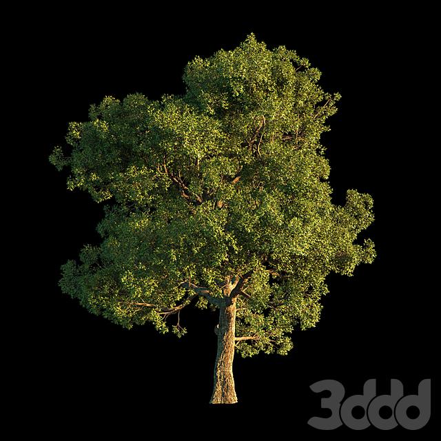 Oak_1 Tree
