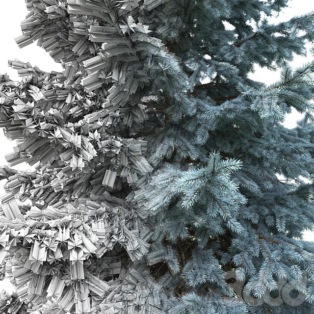 Ель | Picea pungens #2 (7.4-5.5m)