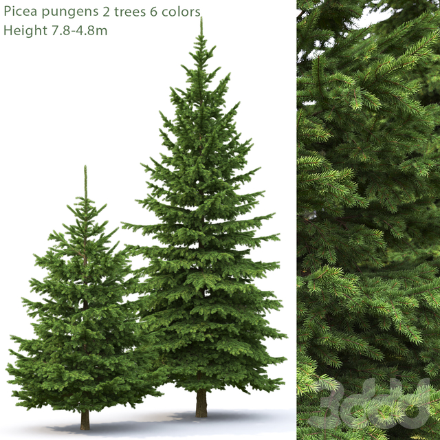 Ель   Picea pungens #3 (7.8-4.8m)