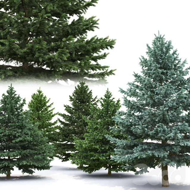 Ель   Picea Pungens #6 (5.2-3.8m)