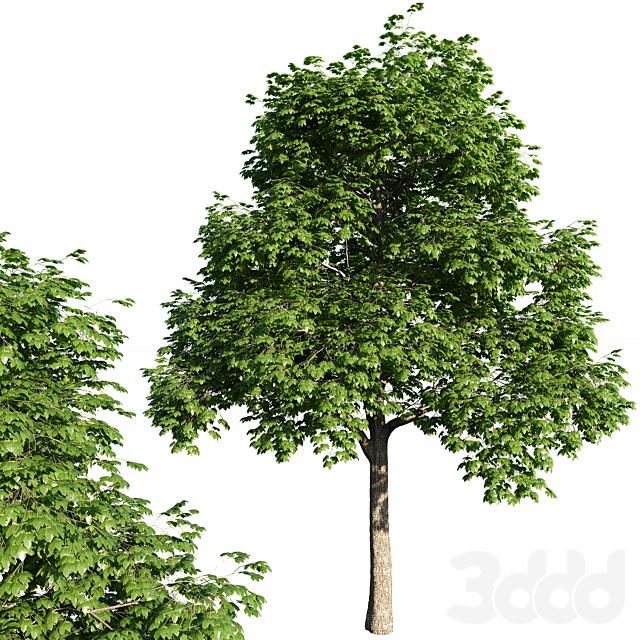 Acer platanoides tree