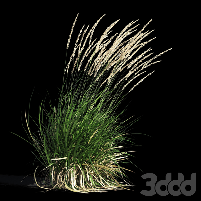 Feather Reed Grass in wind