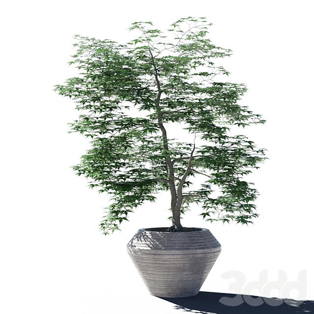 Japanese maple pot 4