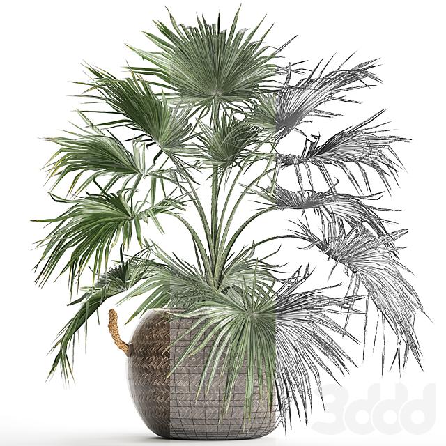 Коллекция растений 433. Пальма Ливистона