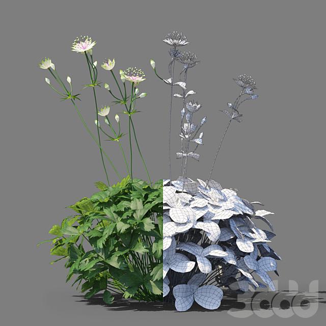 Астранция большая цветы   Astrantia major