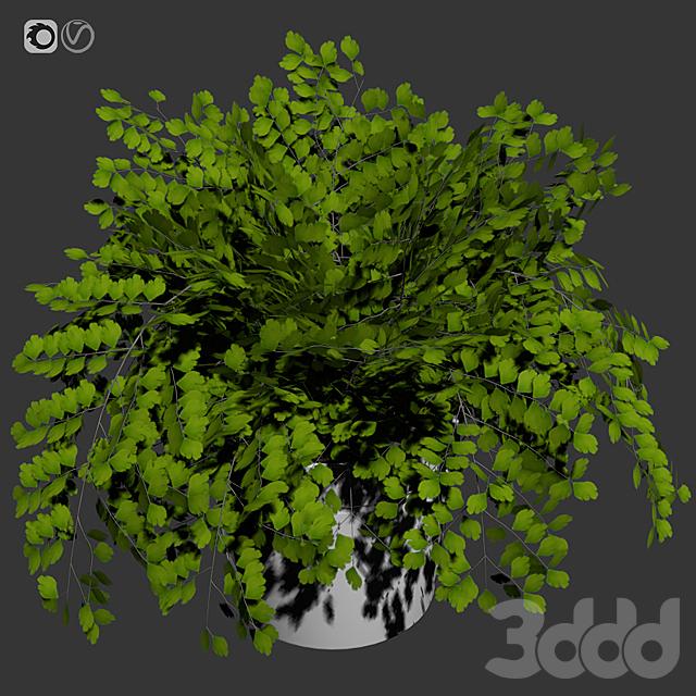 Maidenhair ferns, adiantum tenerum, capillus veneris plant 4