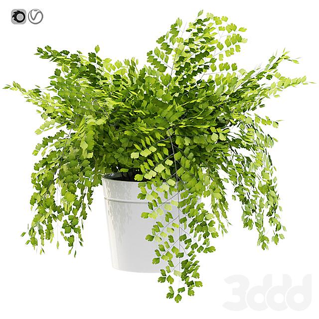 Maidenhair ferns, adiantum tenerum, capillus veneris plant 3