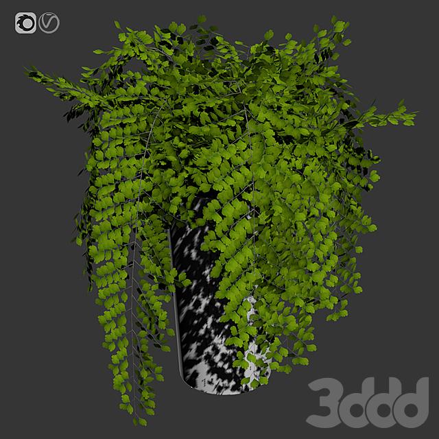 Maidenhair ferns, adiantum tenerum, capillus veneris plant 1