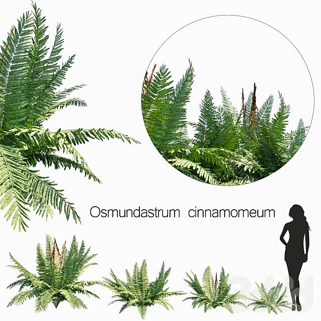 Osmundastrum cinnamomeum set 1