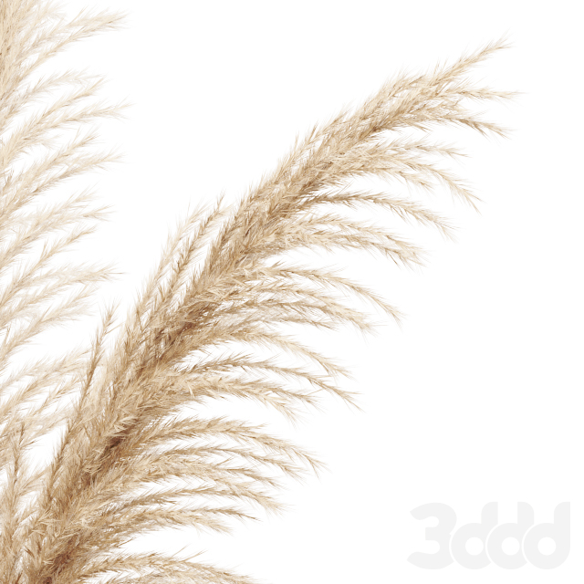Dried flower pampas grass in glass gold vase