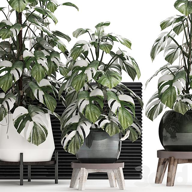 Коллекция растений 451. Монстера пестролистная