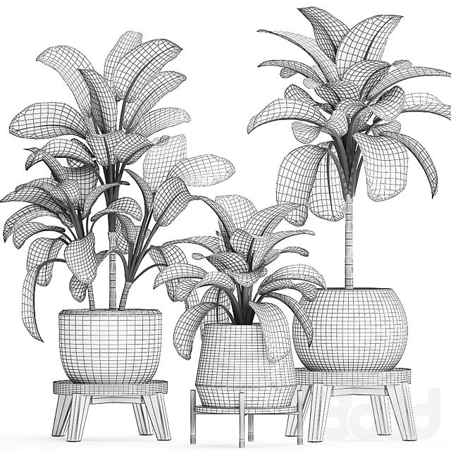 Коллекция растений 452. Dieffenbachia