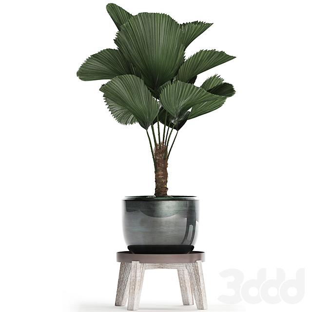 Коллекция растений 453.  Licuala