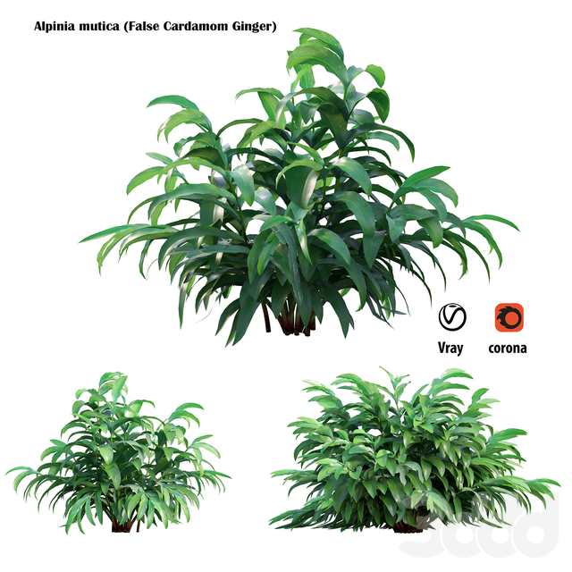 Alpinia mutica